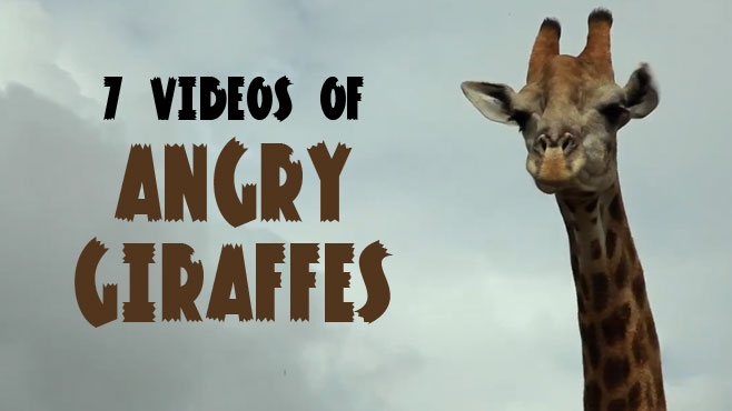 how to tell if a giraffe is angry