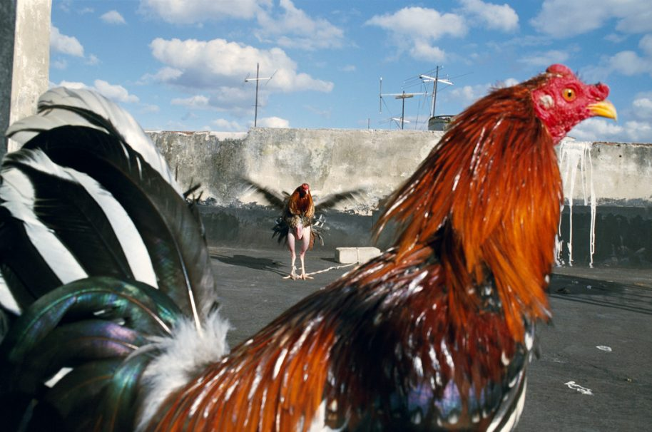 CUBA. Havana. 2008. Roosters exercising on rooftop in Old Havana. (Photo by Rebecca Norris Webb/distributed by Magnum Photos)