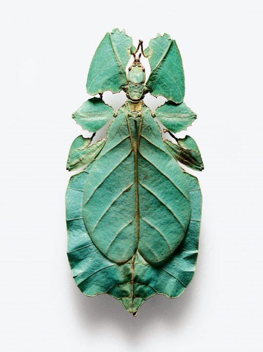 "Robert Clark, True leaf insect or ""walking leaf"" (family Phylliidae). © Robert Clark"