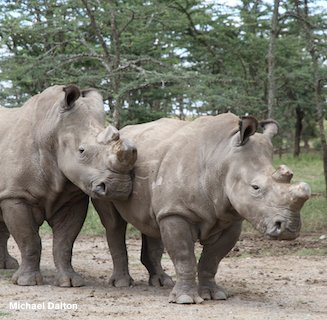 Photo: Two of the three Northern White Rhinos translocated to Ol Pejeta Conservancy now living in a semi-wild state. Keepers and armed security watch over them 24hrs a day. June 2010. Courtesy of Ol Pejeta Conservancy.