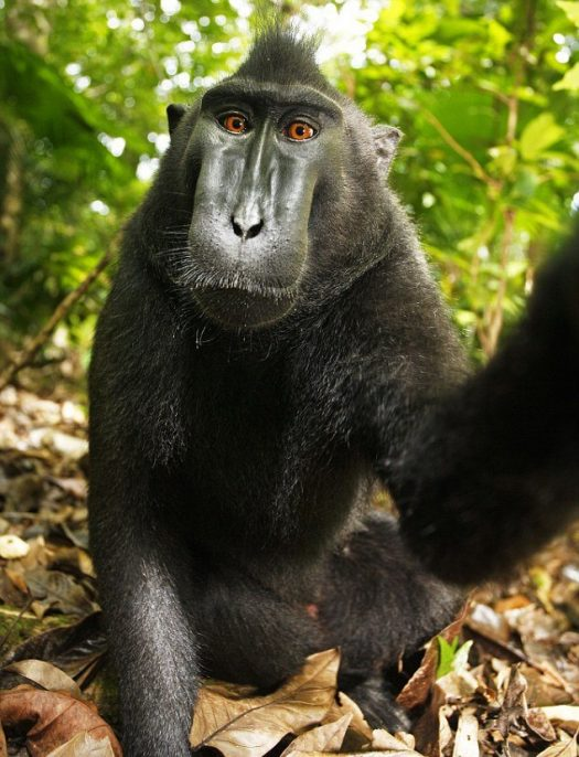 Photo: Self-Portrait of a female Celebes crested macaque in North Sulawesi, Indonesia, 2011. David Slater via Wikimedia Commons.