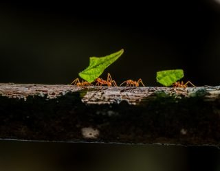 Ants That Explode To Protect Its Colony Discovered In Borneo