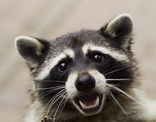Woman Brings Pet Raccoon To Fire Station After It Gets Super High On Weed