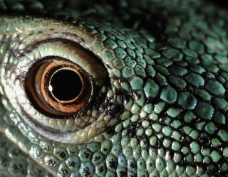 Lizards With Toxic Green Blood Actually Exist In New Guinea