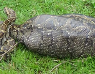A Giant Python Swallowed An Indonesian Villager…Again