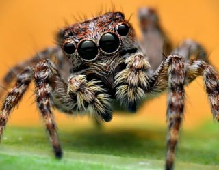 NBA-Caliber Jumping Spiders Spotted In U.K.