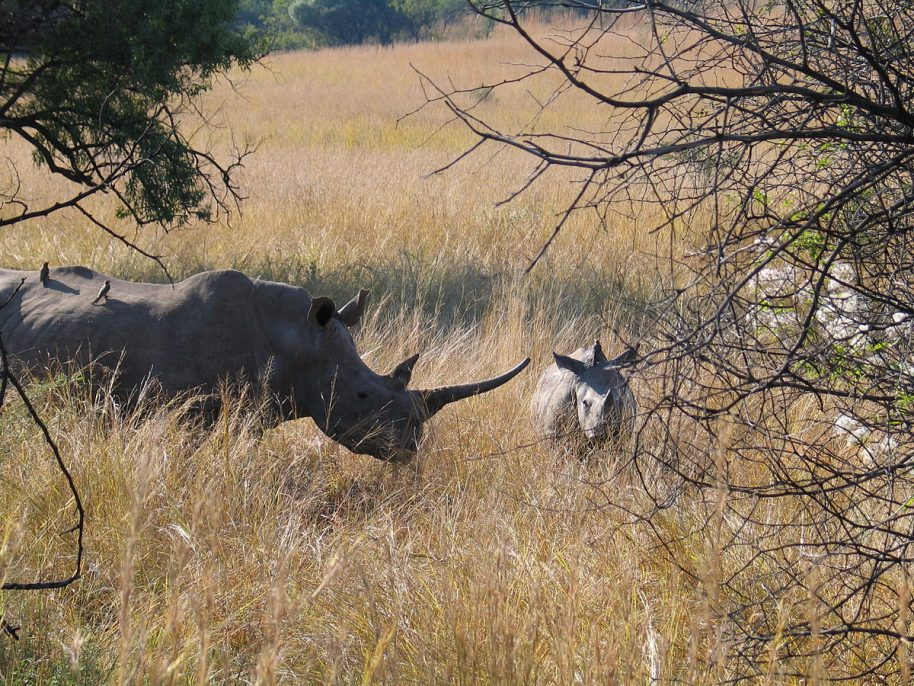 White rhino cow and calf at Pilanesberg Game Reserve, North West Province, South Africa, 2006. Photo © Joonas Lyytinen. Courtesy of Wikimedia Commons.