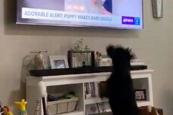 Influencer Dog Loses His Mind Seeing Himself on TV, Put All Influencers and Their Protein Shakes to Shame